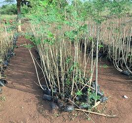 Moringasetzlinge, die noch gepflanzt werden.